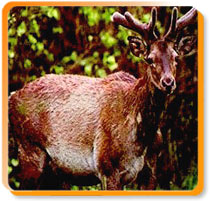 Hangul Stag, Dachigam National Park